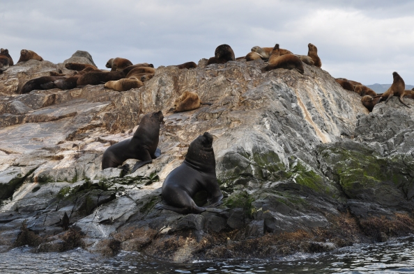 Lions de mer mâles, à la conquête de femelles sur le canal de Beagle.